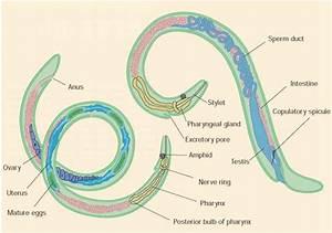 Roundworm Anatomy | www.pixshark.com - Images Galleries ...