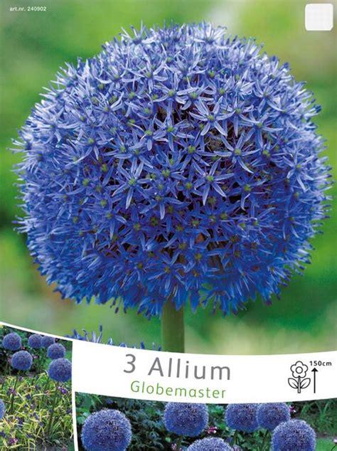 allium globemaster allium pflanzen allium globemaster und blumenzwiebeln