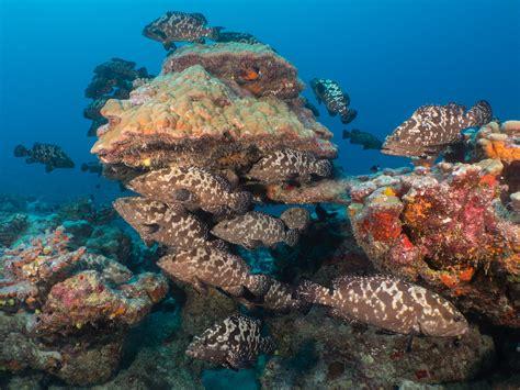 groupers french polynesia galore fakarava june atolls gathers anticipation grouping mass moon summer