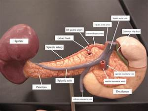 What is hepatic portal vein and hepatic portal artery ...