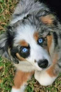 Mini Blue Merle Australian Shepherd