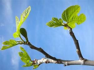 Planter Un Figuier : taille du figuier quand et comment tailler un figier ~ Melissatoandfro.com Idées de Décoration