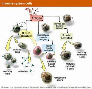 Human Physiology  Immune System