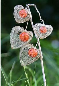 Makulay/flowers: Growing Chinese Lantern Plant