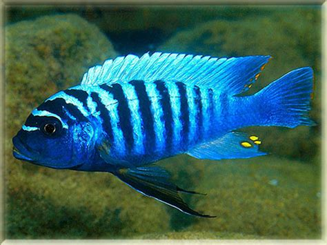 fish starting with a freshwater fish that start with z letter animals name a to z
