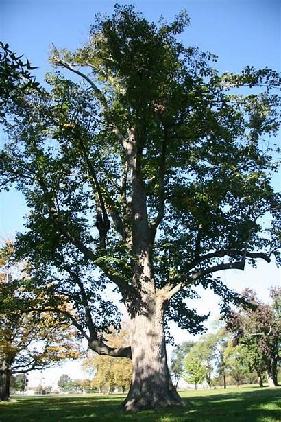 Linden Littleleaf Trees Delaware Delawaretrees