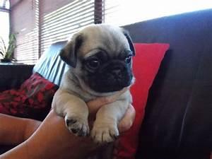 Bug puppies for sale   Havant, Hampshire   Pets4Homes