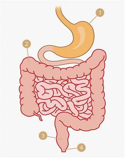 Stomach System Clipart Digestive Intestine Transparent Fine