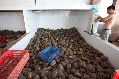 Pangolins Lorises Turtles Ravaged By Illegal Wildlife