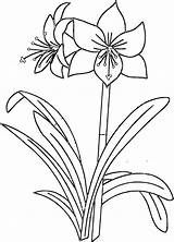 Coloring Pages Amaryllis Flower Printable Flowers Sheets Printables Mosaic Plant Flowercoloring Drawing Looking Glass Narcissus Drawings Amarillis 194kb sketch template