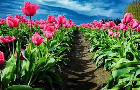 Pink Tulip Backgrounds by Field Of Pink Tulips Hd Wallpaper Background Image