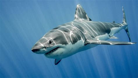 Shark Image How To Survive A Shark Attack