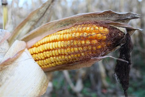 bean cutworm  put  corn  risk farm  dairy