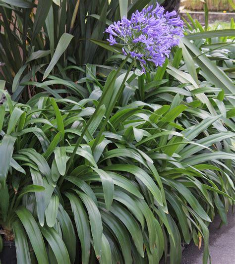 plant agapanthus agapanthus sp