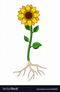 20  Fantastic Ideas Sunflower Plant Drawing With Roots