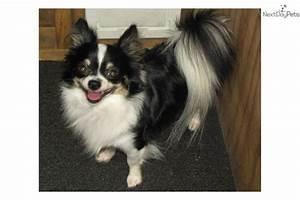 Chihuahua puppy for sale near Houston, Texas | 4e420072-8ed1