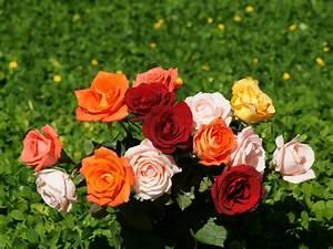 Flowers  U0026 Planets  Beautiful Rose Wallpapers