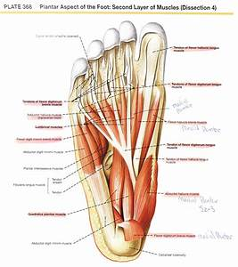 Dorsal Aspect Of Foot Anatomy Image Collections Human On
