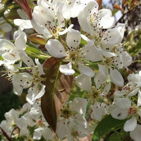 plum tree flowers plum tree flowers fotografia pinterest