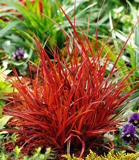 rotes gras winterhart mahagonigras 1a pflanzen kaufen baldur garten