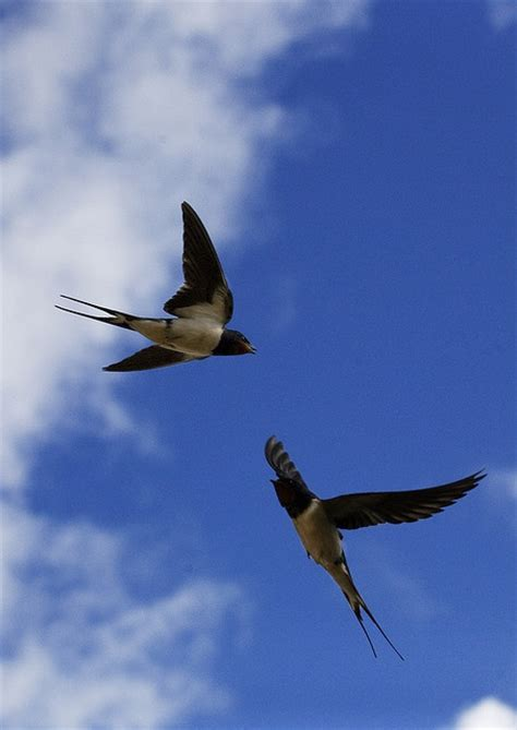 what do barn swallows eat 33 best images about swallows on birds