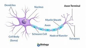 Axon Terminal Definition And Examples
