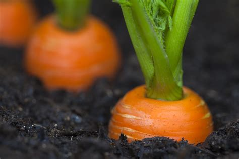 how to carrots from the garden california s drought is screaming get your duff and