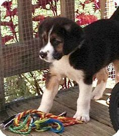 norfolk dogs for adoption and adoption on pinterest