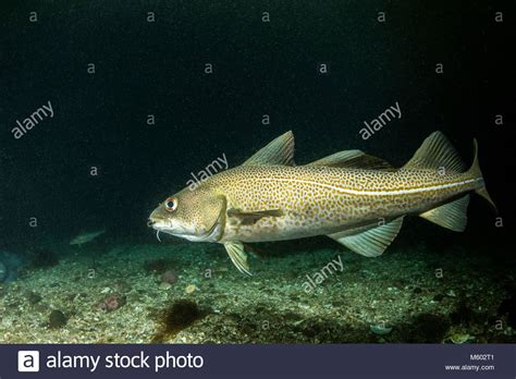 Atlantic Cod Stock Photos & Atlantic Cod Stock Images