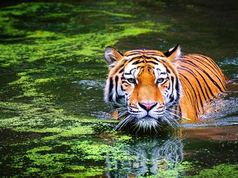 Black tiger wallpaper wallpapers we have about (3,243) wallpapers in (1/109) pages. Animal Bengal Tiger Swimming 4k Ultra Hd Wallpaper For Desktop Laptop Tablet And Mobile Phones ...
