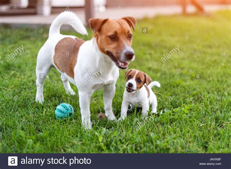 jack russell dogs playing  grass meadow puppy  adult