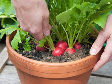 in a pot best vegetables to grow in pots most productive vegetables for containers balcony garden web