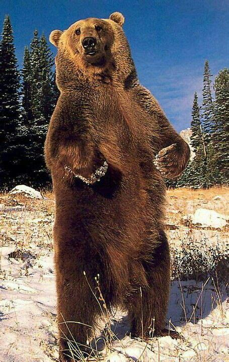 standing grizzly bear awesome nature bear brown bear