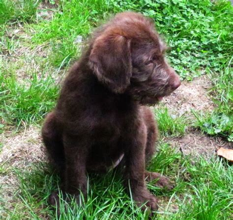 Do F1 Aussiedoodles Shed by F1 Labradoodle Puppies Summer 2013 Litter Aussiedoodle