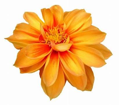 Flower Transparent Dahlia Webstockreview Clipart Purepng