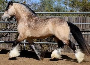 sooty buckskin - Gypsy Cob stallion Irish Outlaw | colours ...
