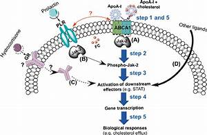 Potential Abca1 Signaling And Crosstalk In Mammary