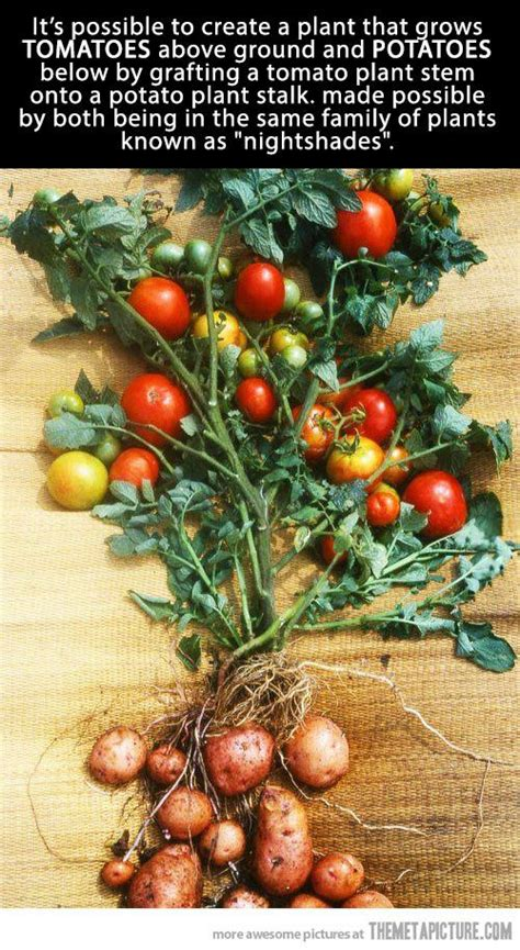 amazing tomato potato plant awesome trees  plants