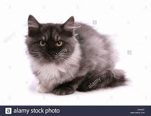 Domestic Cat, Siberian Forest Cat, Black smoke and white ...