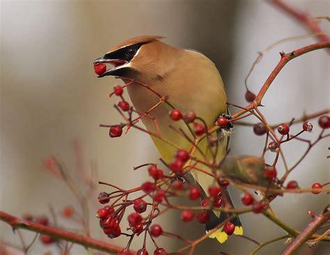 Ten Berries That Birds Love To Eat Ny Harbor Nature