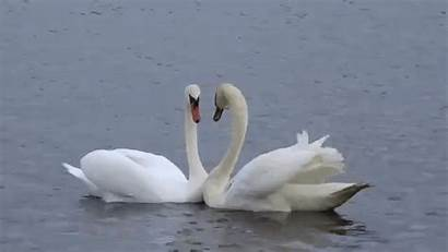 Swan Heart Couple Shape Reunited Form Being