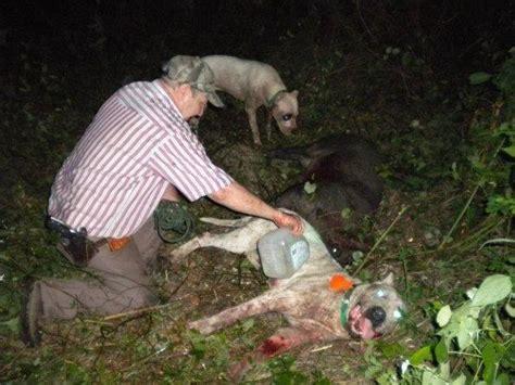 hog hunting dog wild hunt sarasota boar dogo argentino florida enlarge commissioners county