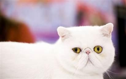 Cat Exotic Shorthair Cats Close Pets Domestic