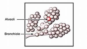 Gas Exchange In Alveoli Animation