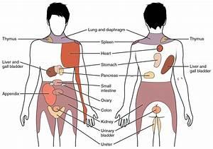 The Peritoneum - Visceral - Parietal