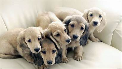 Dog Puppy Dogs Puppies 1080p Retriever Animal