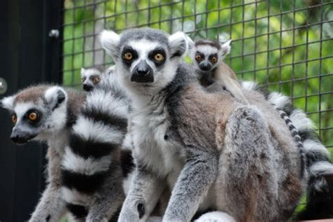 king julien announces birth  royal twins zooborns
