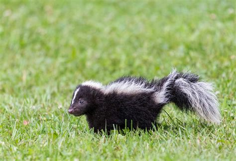 sprayed by skunk what to do after your dog gets skunked reader s digest