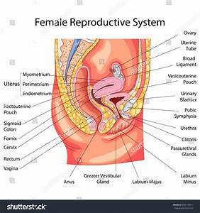 Education Chart Biology Female Reproductive System Stock