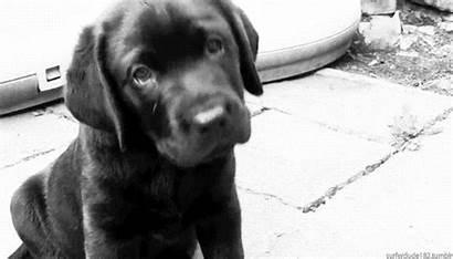 Dog Animated Lab Puppy Labrador Favim Chocolate